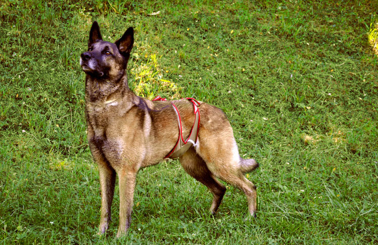Dog diaper for male Shepherd Dog