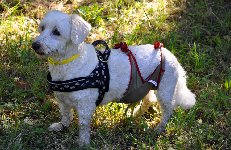 Dog diapers for male Bichon
