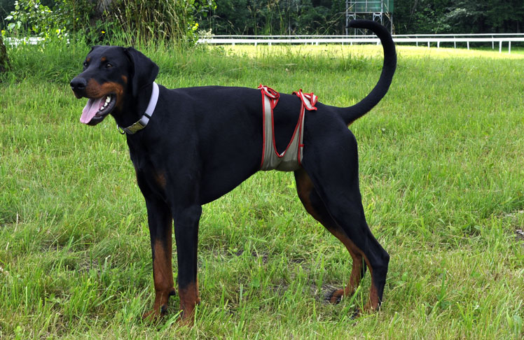 Dog diapers for male Doberman