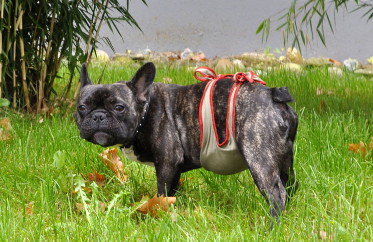 Dog diapers for male French Bulldog