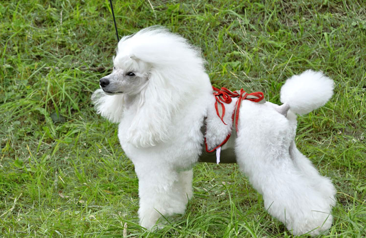 Dog diapers for male Poodle