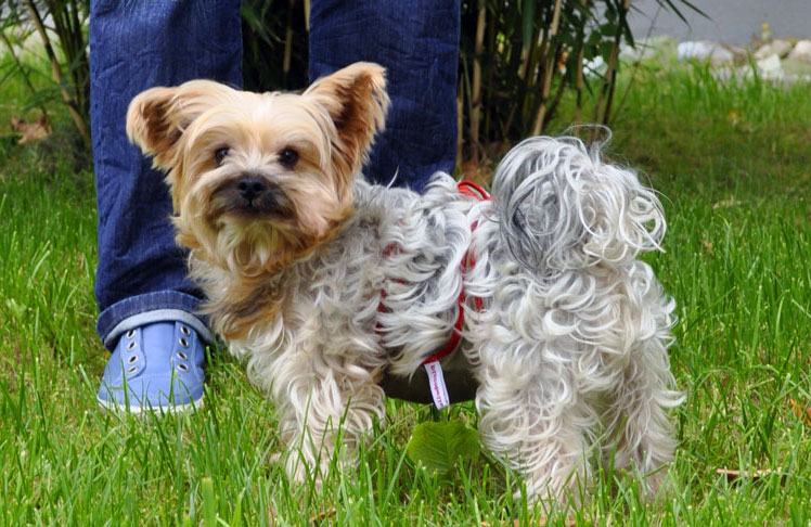 Dog diapers for male Yorkshire Terrier