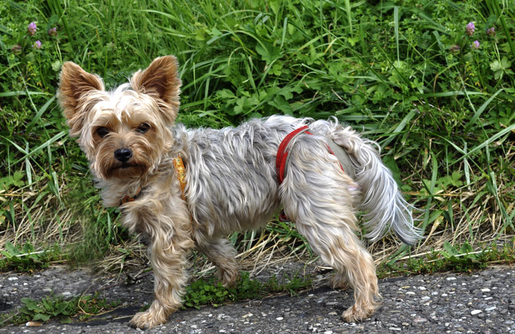 Dog nappies for female Yorkshire Terrier