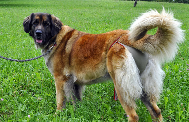 Dog nappy for female Leonberg