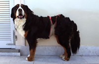 Dog diapers for Bernese mountain dog