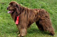 Dog diaper for male Newfoundland Dog