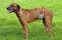 Dog diapers for male Rhodesian Ridgeback
