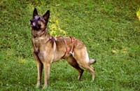 Dog diaper for male Shepherd Dog (Malinois)