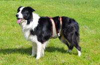 Dog diapers for male Border Collie