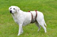 Dog diapers for male Labrador
