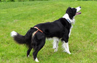 Dog nappies for female Border Collie