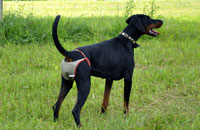 Dog nappies for female Doberman