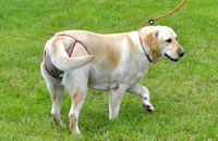Dog nappies for female Labrador