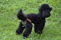 Dog nappies for female Poodle