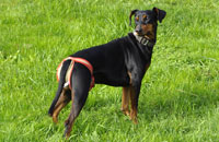 Dog nappy for female German Pinscher