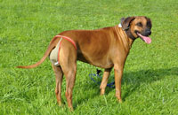 Dog nappies for female Rhodesian Ridgeback