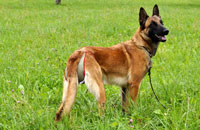 Dog nappy for female Shepherd Dog (Malinois)