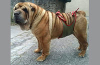 Doggy diaper for male Sharpei