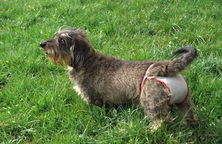 Small female dog diaper shown by female Dachshound Lotte