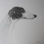 Greyhound dessin