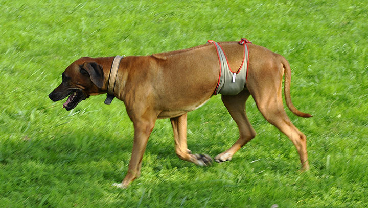piccobello Dog Diapers on a male Rhodesian Ridgeback